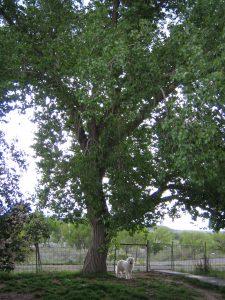 Cottonwood tree in yard