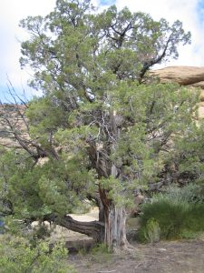 Juniper tree along a canyon pathway
